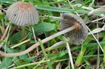 Pleated Inkcap (Parasola plicatilis)